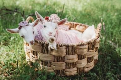 Nigerian Dwarf Goats for Sale Virginia ADGA award winning